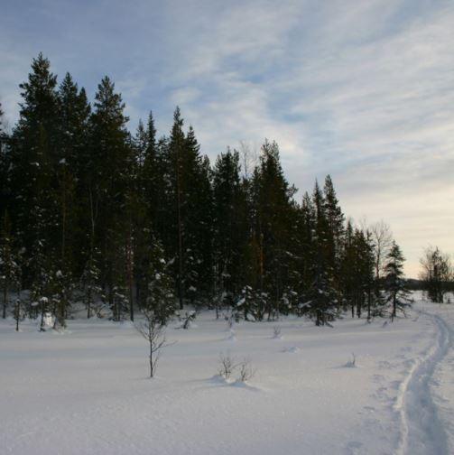 Skog Gällivare